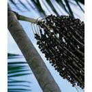 Bio-Acai-Pulver - Extrakt gefriergetrocknet DE-ÖKO-006 Kontrollstelle
